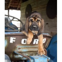 Bloodhound Breeders In Texas