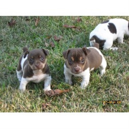 Rat Terrier breeder Andrews 10879