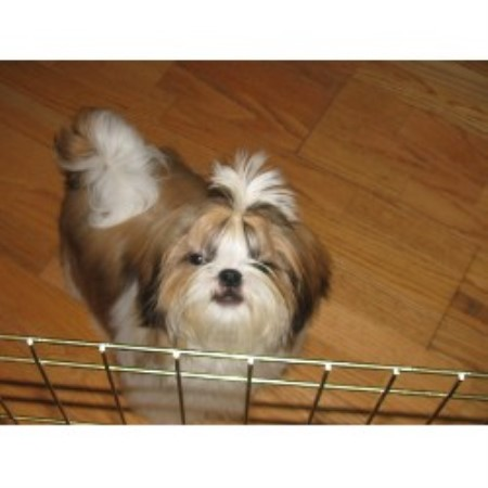 shih tzu rescue nyc shih tzu puppies for adoption in new york 3702