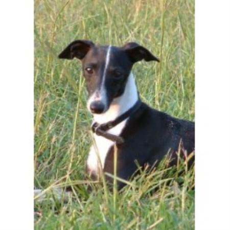 Italian Greyhound breeder Italian Greyhound Nc