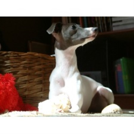 Mosa Italian Greyhounds Italian Greyhound Breeder In Raeford North Carolina