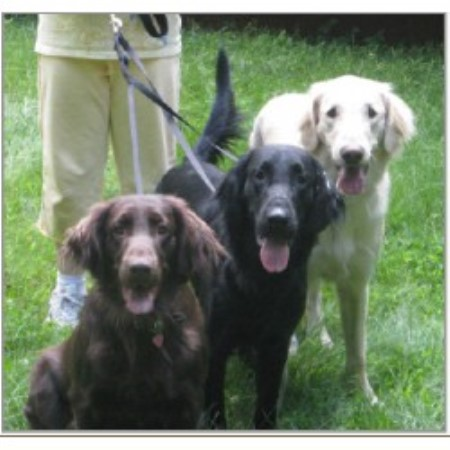 Flat Coated Retriever breeder Moscow 10964