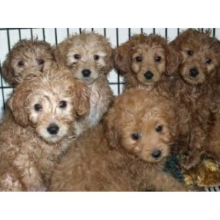 Welsh Terrier Rescue Florida Golden Beauties...Driv...