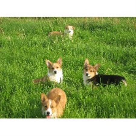 Corgi Dog Rescue Washington State