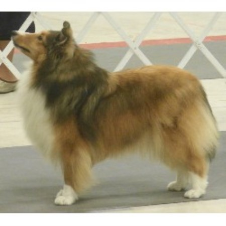 Spring Valley Shelties