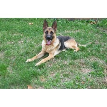 German Shepherd Dog Breeder 11067