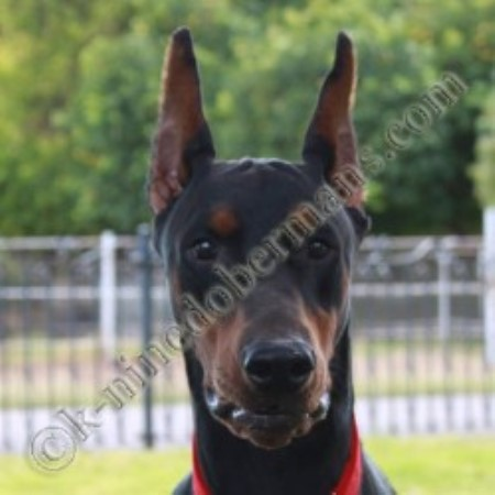 Doberman Pinscher breeder We Have Doberman Puppies For Sale 11119
