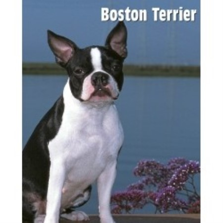 Dreampet Kennel Boston Terrier Breeder In Anderson South Carolina
