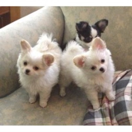 Chihuahuas for sale in all states