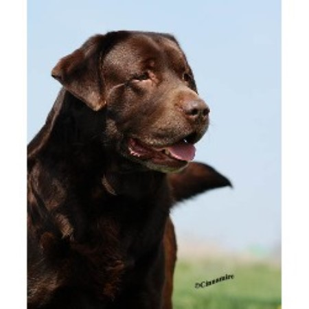 ... Yellow Labrador Retrievers Puppies For Sale In Maryland Personable