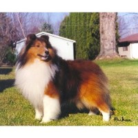 Parkae Shelties