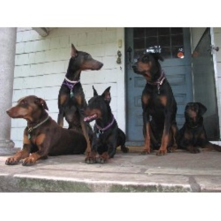 Doberman Pinscher breeder Winsted 11831