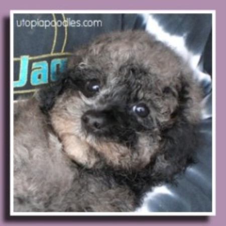 Poodle Miniature breeder in Waycross, Georgia