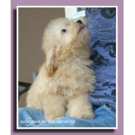Poodle Miniature breeder in Waycross