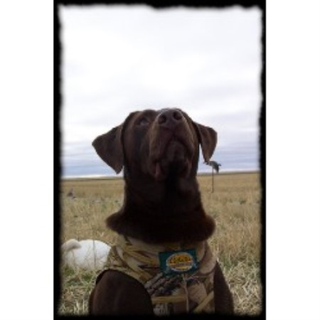 Mactalins Field Bred Labs Labrador Retriever Breeder In