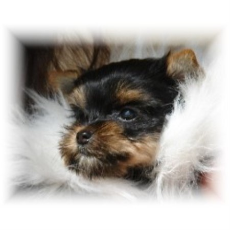 Yorkshire Terrier breeder Irvington 11876