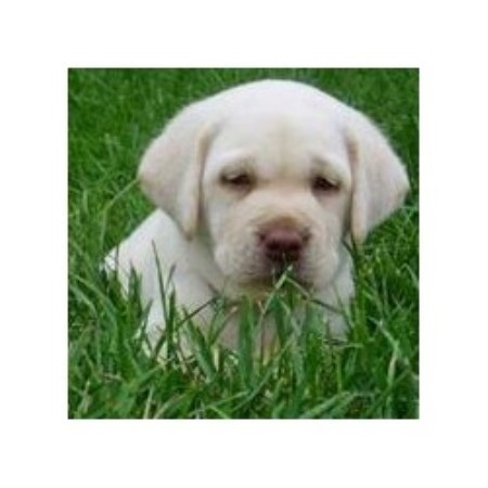 Labrador Retriever breeder Red Oak 11894