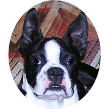 Akc Boston Terriers Boston Terrier Breeder In Millersburg Michigan