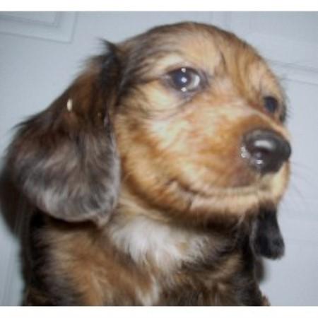 Wire haired dachshund oregon