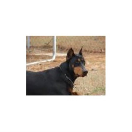 Doberman Pinscher Breeder 11931