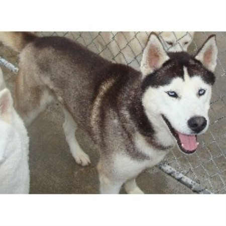 Maxhaven Kennels, Siberian Husky Breeder in Pittsville