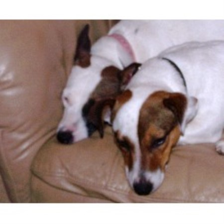 Jack Russell Terrier breeder in Maine