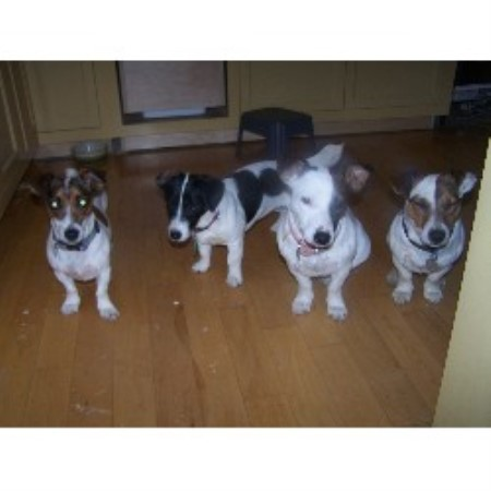 Jack Russell Terrier breeder in York Beach, Maine