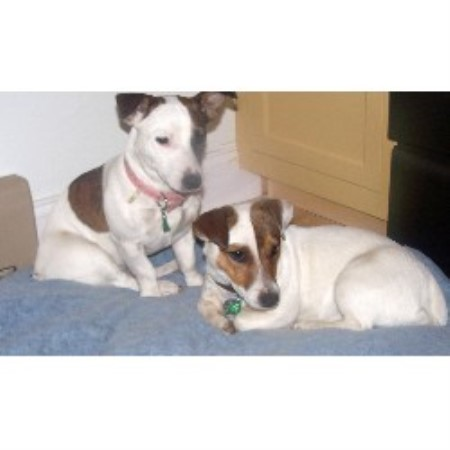 Jack Russell Terrier breeder in York Beach