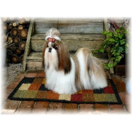 Red and White Shih Tzu http://www.freedoglistings.com/details.aspx?t=0&id=12022