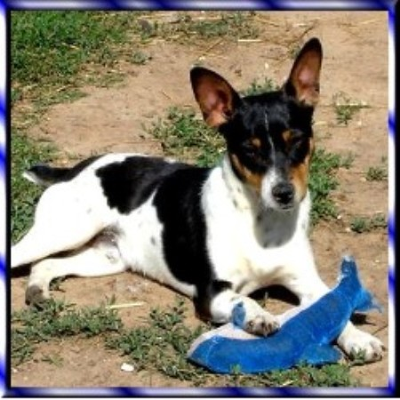 Knd Kennels Rat Terrier Breeder In Denison Texas