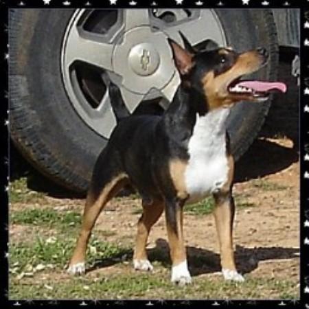 Knd Kennels Rat Terrier Breeder In Denison Texas