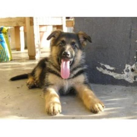 Von Monte Sion German Shepherds / Dog Training, German