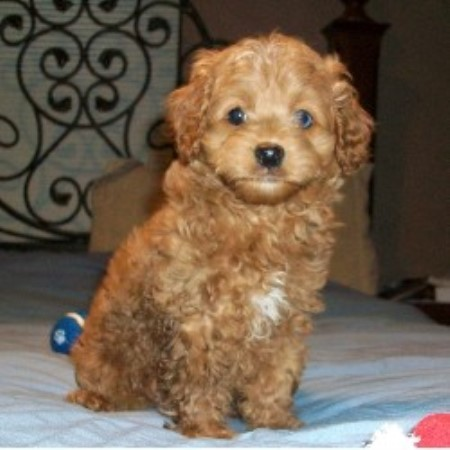 Cpuppies Com Cockapoo Breeder In New Carlisle Ohio