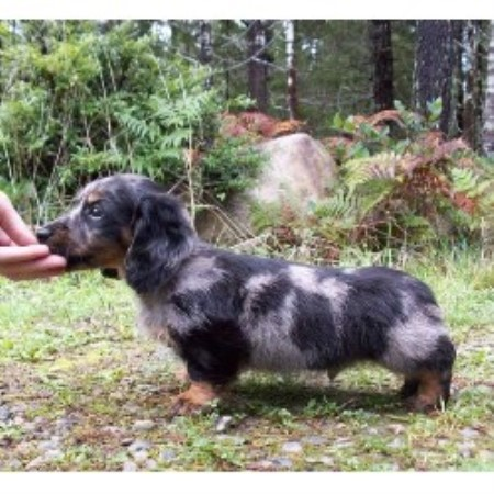 Lockhaven Miniature Dachshunds, Dachshund Breeder in Herington, Kansas