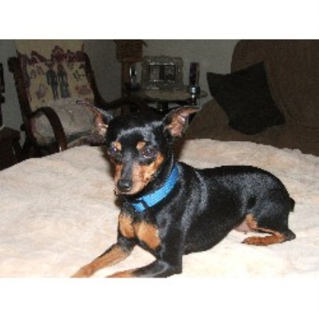 Miniature Pinscher Missouri All of our puppies are AKC
