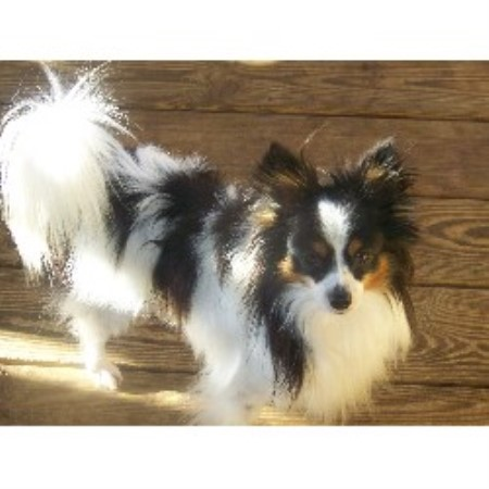 Kingdom Blessings Papillons Papillon Breeder In Sylvester Georgia