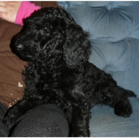Poodle Standard breeder Madison 12393