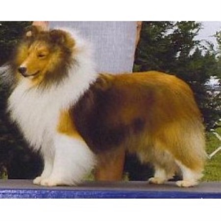 Keystone Shelties Shetland Sheepdog Breeder In Medina Ohio