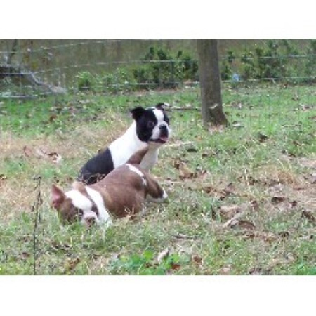 Boston Terrier breeder Taylorsville 12460
