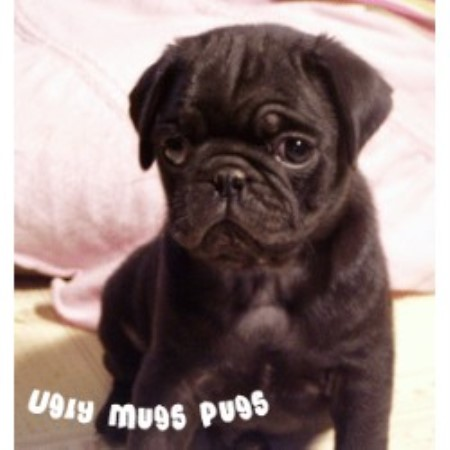 Pug breeder in Okaton