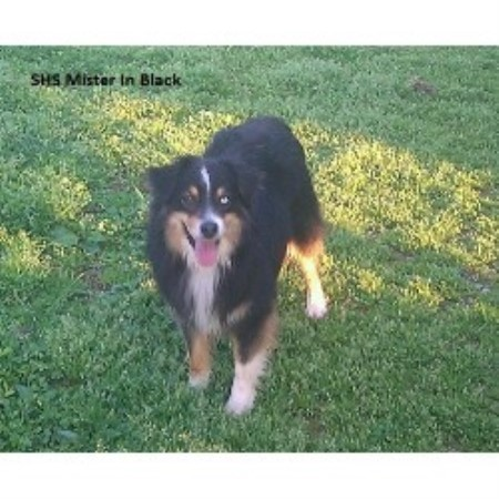 Miniature Australian Shepherd breeder Morgantown 12496