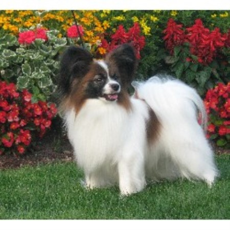 Papillon breeder Sedro Woolley 12523