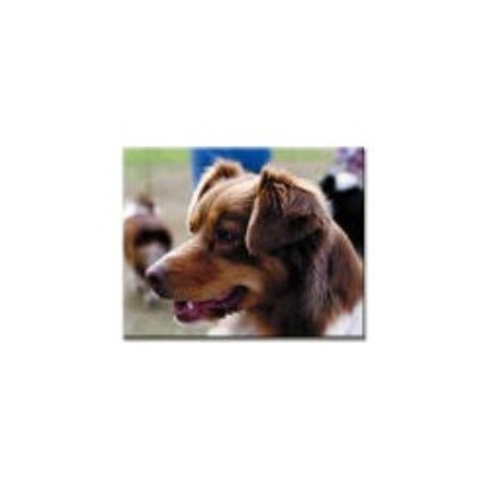 Australian Shepherd Dog breeder Templeton 12533