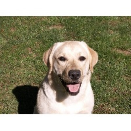 Labrador Retriever breedering kennel in Sherman