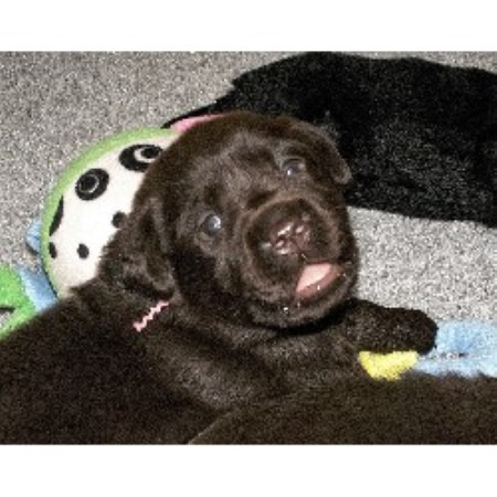 Labrador Retriever breeder in Sherman