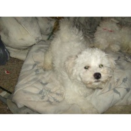 Bichon Frise breeder in Johnston