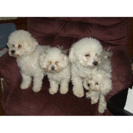 Judith Keogh, Bichon Frise Breeder in Johnston, Rhode Island