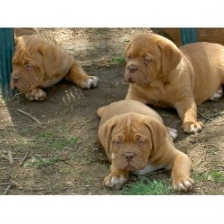 Dog De Bordeaux Rescue Ontario