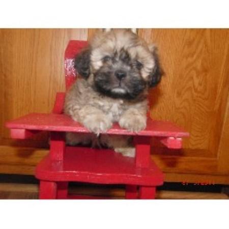Shichon Dog Breeders Ontario