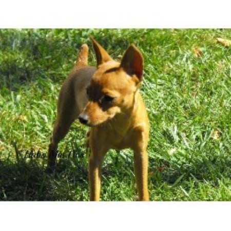 Miniature Pinscher Breeder 12666
